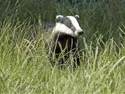 Badgers could be infected with 'something like a herpes virus' to help stop bovine TB, Eustice says