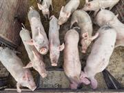 Virus stemming from European pig farms infecting thousands of Brits a year, doctors say