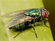 Sheep farmers reporting first cases of blowfly strike