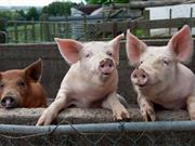 Scientists develop new device to overcome pig 'genome flaw'
