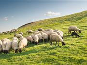 Grant available to encourage woodlands on upland sheep farms