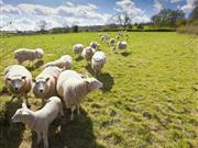 71 ewes missing: Young farmer returns from holiday to devastating news