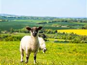 Global appetite for Welsh lamb reaches all-time high
