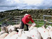 'Hellish problem': Farmers join crime fighting campaign to stamp out sheep rustling