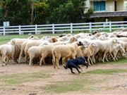 Escalating problems of sheep worrying highlighted at animal welfare meeting