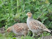 Farmers urged to help survival of grey partridge by counting them