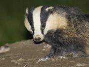 NI introduces badger testing in two disease hotspots