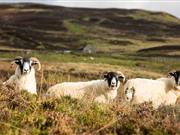 "Sheep dies after being shot ""with nails"", police seeking information"