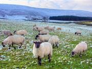 Hard Brexit 'catastrophic' for Scotland's sheep sector, report warns
