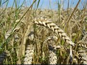 Farmers see greater variability in wheat yields, new analysis shows