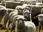 High-tech paint laced with micro-dots to help stop sheep rustling
