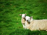 New research finds no advantage in worming ewes around lambing time
