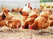 Brexit 'bigger threat' to poultry industry than bird flu