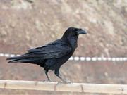 Farmers call for license to cull ravens following huge lamb losses