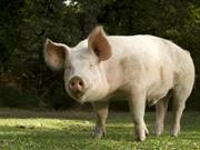 First quarter of 2018 sees record diagnostic rate of pig virus 'PRRS'