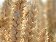 Change in weather brings crop disease to the fore