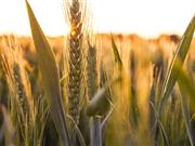 Scottish grain quality good but yields mixed and straw short
