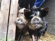 Two Kunekune pigs found mistreated now looking for new farm