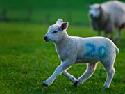 Farmer uses revolutionary marking system to deter sheep rustlers
