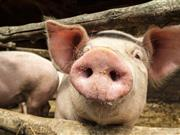 Scheme to help monitor pig herd health relaunched​