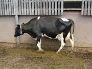 £1m project sets out to discover what causes lameness in dairy cows