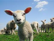 Rustlers steal 500 sheep worth £60,000 from Norfolk farm