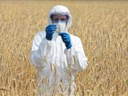 Application sent to Defra to conduct GM wheat trials