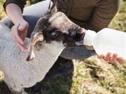 Just one in five farmers feed newborn lambs enough colostrum
