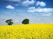 Neonics ban blamed for UK oilseed rape crop losses