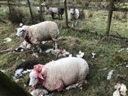 Farmer slams 'irresponsible' dog owners after sheep 'ripped to shreds'