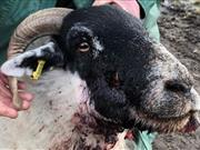 Sheep put down after face shot by gunman