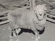 Ram sperm frozen for 50 years used to impregnate 34 ewes