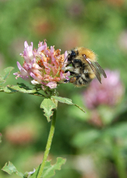 Operation Bumblebee redresses plight of the bumblebee