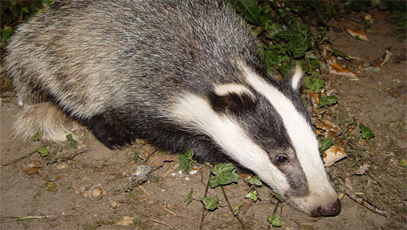 New measures to control bovine TB in badgers