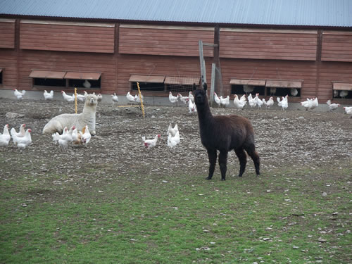 Alpacas are at home with hens or sheep