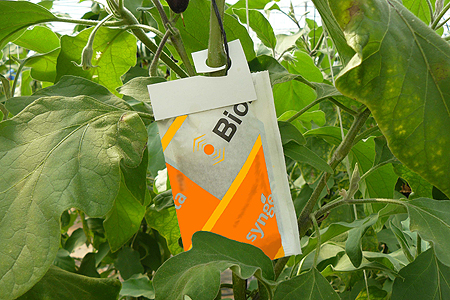 Sachets of Montyline am release mites quickly into the crop