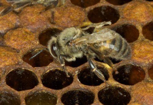 The battle against bee diseases continues