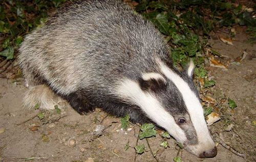 Organisations attack Welsh stance on badger cull