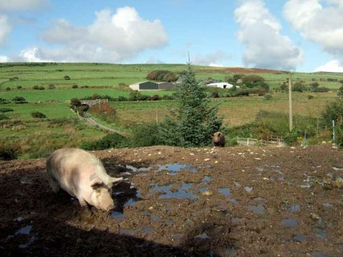 New pig welfare standards 'must be enforced'