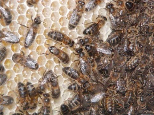 Bee health a top priority, says crop protection boss