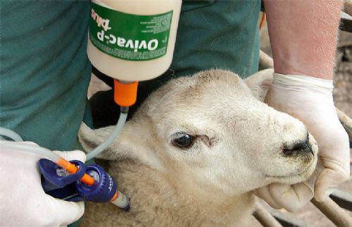 Producers urged to vaccinate lambs