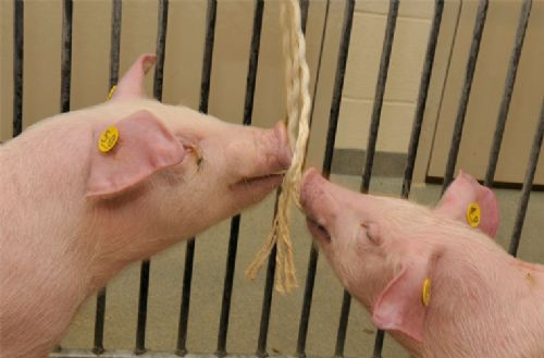 Swine infection screening using oral fluids
