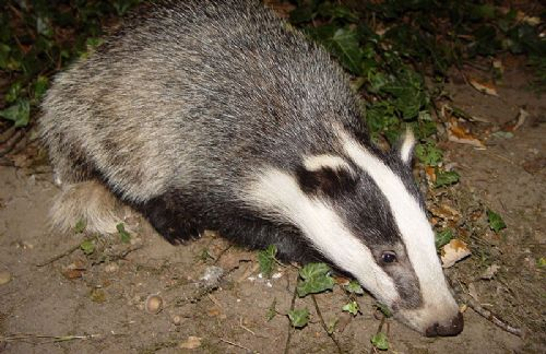 Chief scientist quits over badger cull U-turn‎