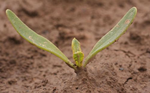 New sugar beet joins BBRO list