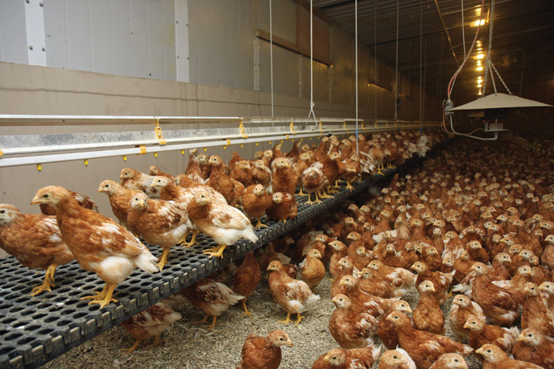 Pullet rearers look to payment terms as egg market turns