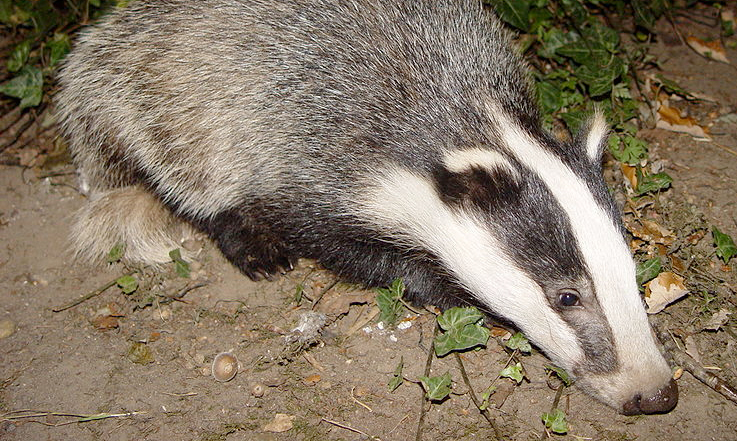 Vets express disappointment over badger cull halt