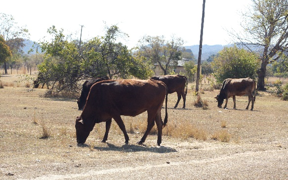 Zimbabwe cattle die due to lack of pastures