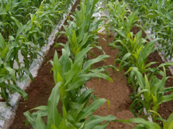 Calaris offers new option for maize weed control under plastic