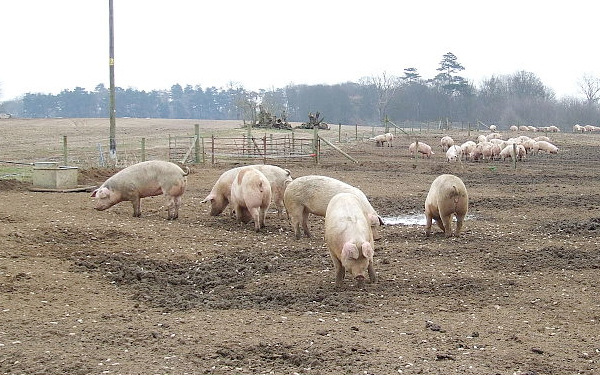 Shoppers urged to back British pig farmers