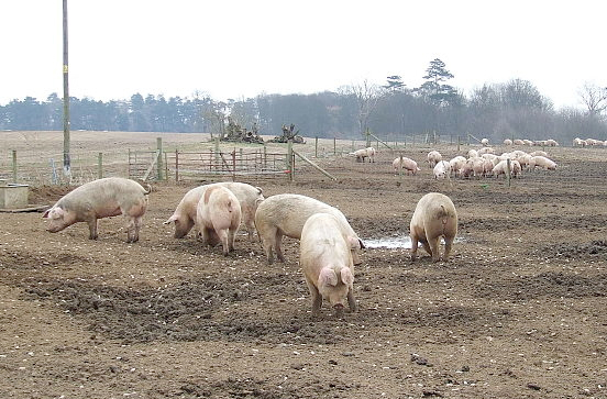 Europe's pork and bacon supply declining